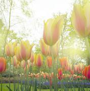 growing  tulips close up - stock photo