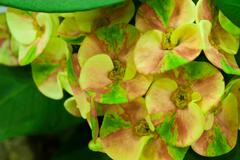 euphorbia milli - stock photo