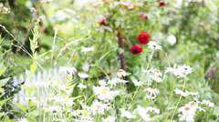 Roses and daisies Stock Footage