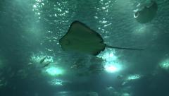 Stingray Lisbon Oceanarium (Oceanário de Lisboa), Lisbon, Portugal. Stock Footage