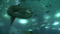 Ocean sunfish, Lisbon Oceanarium (Oceanário de Lisboa), Lisbon, Portugal. Stock Footage