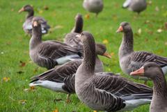 Greylag goose Stock Photos