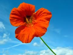 Red nasturtium - stock photo