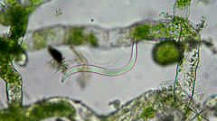 Seaweed (alga) and nematode under microscope Stock Footage