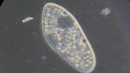 Stock Video Footage of Live single-celled infusoria under microscope (phase-contrast method)