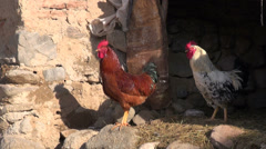 Rooster cries in small Iranian village, rural settlement Stock Footage