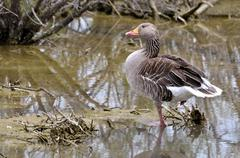Greylag goose in water Stock Photos