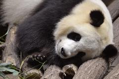 Portrait of giant panda Stock Photos