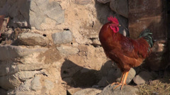 Rooster crows village in Iran silhouette shadow beautiful noise sound Stock Footage