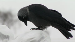 Crow pecks ice winter in Kostroma Stock Footage