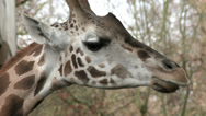 Stock Video Footage of Giraffe, Portrait, Closeup, CU, Face, Head, Trees, 4K, UHD