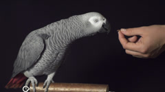 SLOW MOTION: Parrot shaking his head Stock Footage