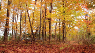 Stock Video Footage of Forest full of bright autumn colors-tilt upward