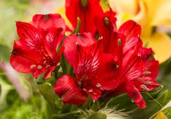 Spring lilly bouquet of alstromeria Stock Photos