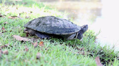 MVI 4Turtle standing beside the lake in natural park Stock Footage