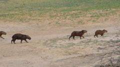 Group of capybaras. Los Llanos, Venezuela Stock Footage
