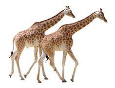 Isolated two giraffes walking - stock photo