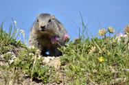 Stock Photo of Young Alpine marmot