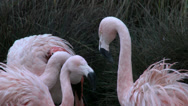 Stock Video Footage of Pink Flamingos, birds, flock, pink, colorful, Chilean, Chile, Zoo