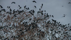 Flock of Black Birds Crows in the night sunset sky HD High Definition 1080 - stock footage