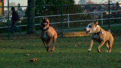 Dogs running together in the park slow motion Stock Footage