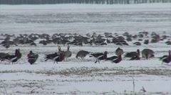 Red-breasted and white-fronted geese - stock footage