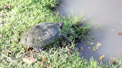 Turtle standing beside the lake in natural park Stock Footage