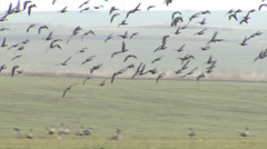 Red-breasted and white-fronted geese Stock Footage