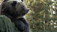 Stock Video Footage of Grizzly Bear, bear, carnivore, large, huge, powerful, dangerous, rest, relax