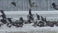 Stock Video Footage of Red-breasted and white-fronted geese