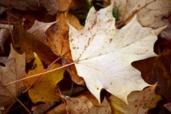 maple leaf in fall laying between other leaves - stock photo
