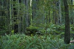 redwood forest in north california state - stock photo