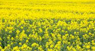 Stock Photo of oil seed flower field
