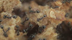 Ants Macro Bugs Insects Feeding - stock footage