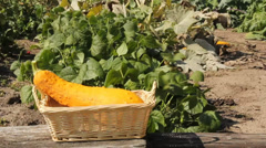 Gardener putting yellow gourds into a wicker basket Stock Footage