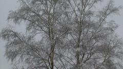 Birch in snowy heath landscape grey sky - tilt up tree Stock Footage