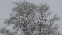Birch against grey sky - tilt down snowy heath landscape Stock Footage