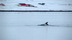 Dolphins swimming near Icelandic farm 2 Stock Footage