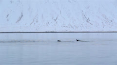 Stock Video Footage of Dolphins pod swimming in front of a farm in a fjord of Western Iceland.