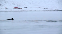 Stock Video Footage of dolphin pod in Icelandic fjord pan