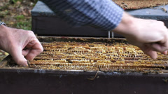 Beekeeper takes out frame of honeycomb with worker bees, drones and brood Stock Footage