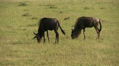 Wildebeests (gnu) eating Stock Footage