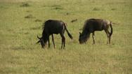 Stock Video Footage of Wildebeests (gnu) eating