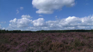 Stock Video Footage of hold + pan - Heath landscape, Calluna vulgaris under cumulus clouds in blue sky