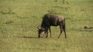 Stock Video Footage of Wildebeest (gnu) eating