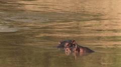 Hippopotamus in water - stock footage