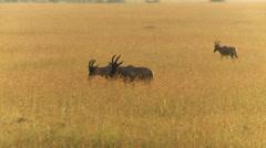 Springbok antelope walking Stock Footage