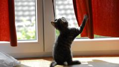 Kitten playing with curtain Stock Footage