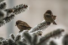 sparrows on spruce branches - stock photo