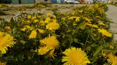 Patagonian flowers in spring - Punta Arenas I Stock Footage